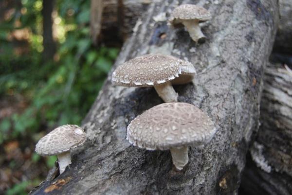 mushrooms on tree log