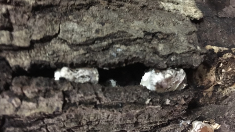 "What does ""pinning"" look like on my mushroom log?"