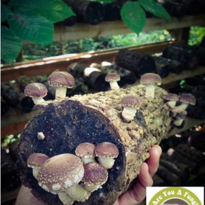 mushrooms on wooden log