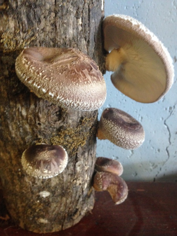 shiitake mushrooms on wood